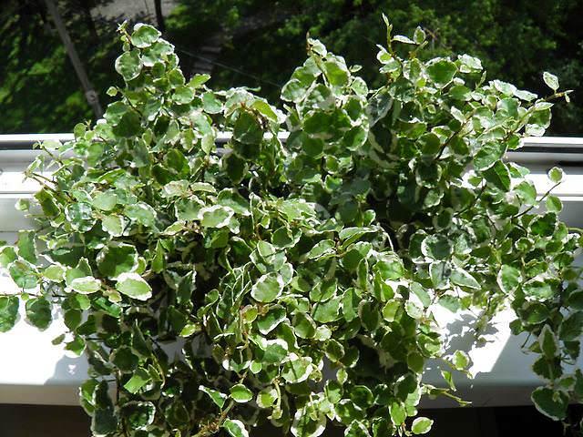 «Карликовый» (Ficus pumila L.)